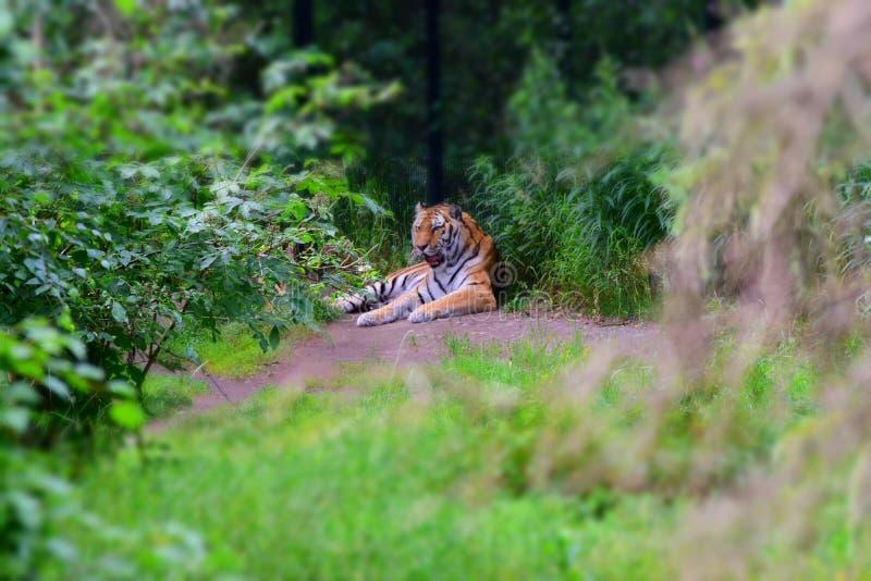 Tigre soñoliento imagen de archivo