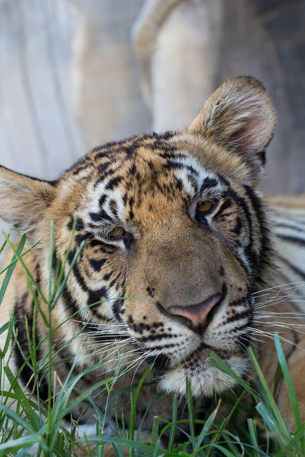 Tigre sonolento imagem de stock royalty free