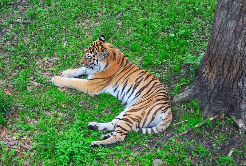 Tigre sous l'arbre photo stock