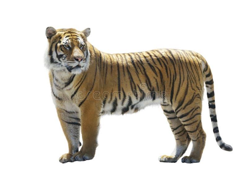 Tigre su priorità bassa bianca immagini stock