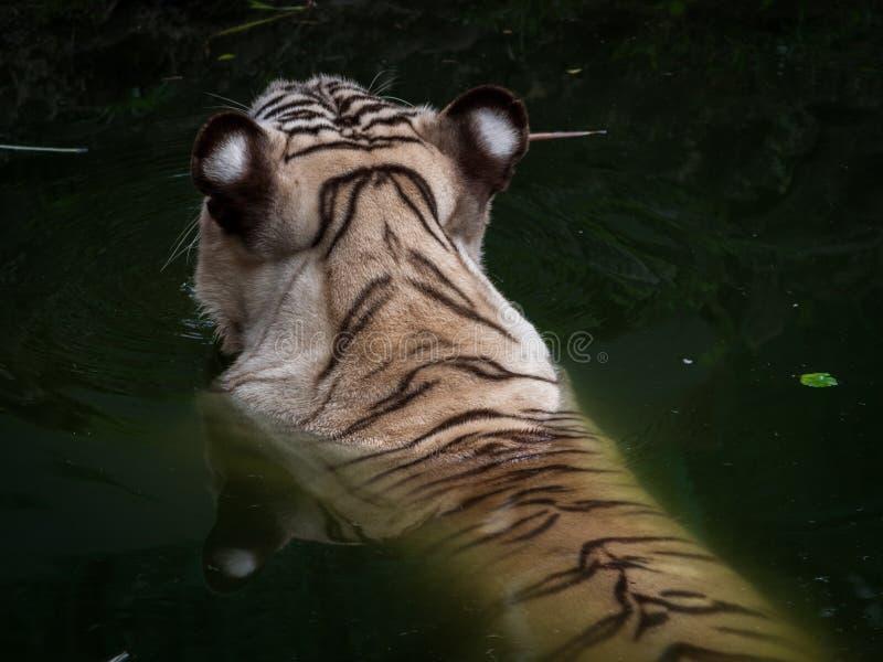 tigre sur l'eau photographie stock libre de droits