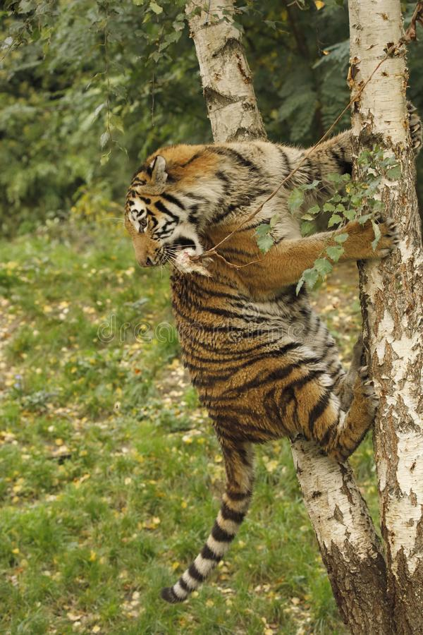 Tigre sur un arbre photographie stock
