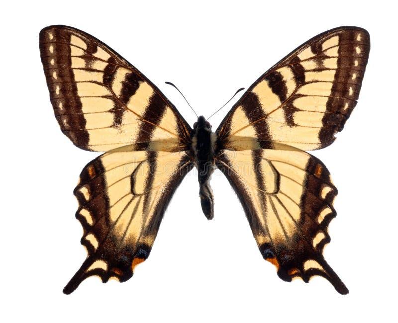Tigre Swallowtail immagini stock libere da diritti