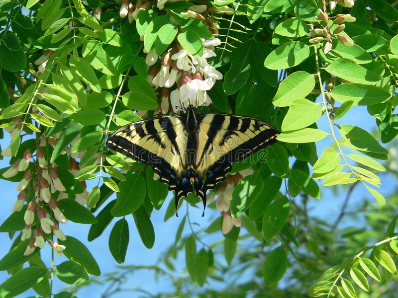 Tigre Swallowtail imagenes de archivo