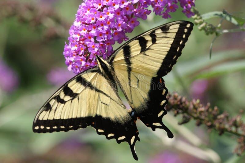 Tigre Swallowtail (glaucas do papilio) fotos de stock