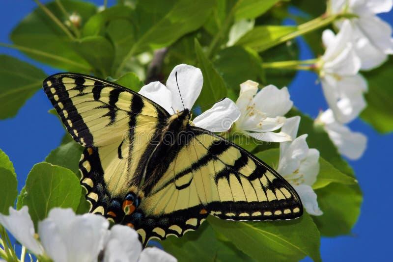 Tigre Swallowtail nas flores de Apple imagem de stock
