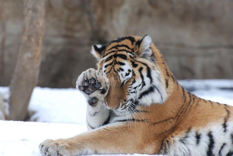 Tigre tímido foto de archivo