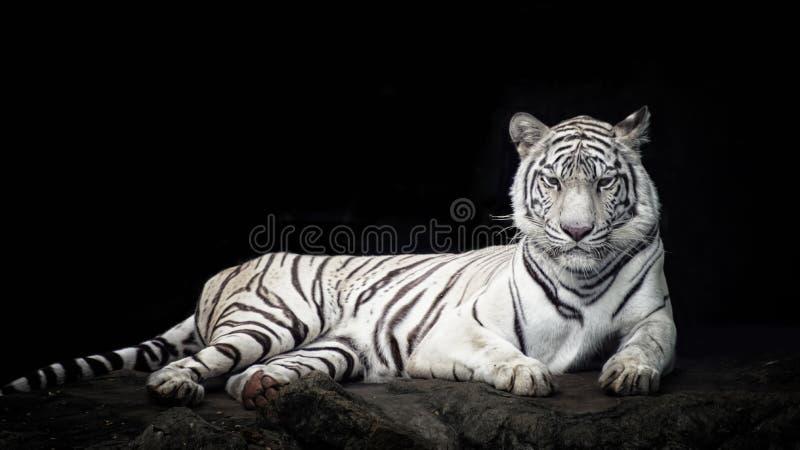 Tigre tendido en la roca fotografía de archivo libre de regalías