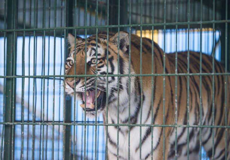 Tigre in un circo fotografia stock