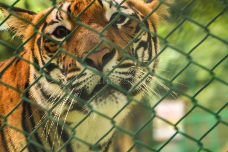 Tigre in uno zoo fotografia stock libera da diritti
