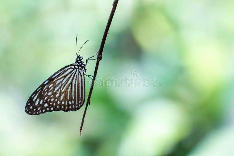 Tigre vítreo azul bonito em um parque da borboleta com copyspace imagens de stock