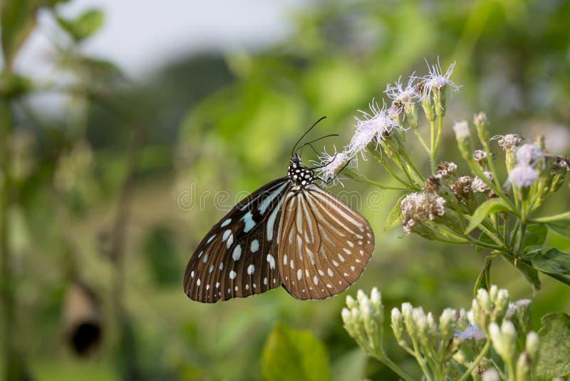 Tigre vítreo azul da borboleta bonita imagem de stock royalty free