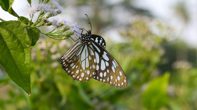 Tigre vítreo azul da borboleta bonita foto de stock royalty free