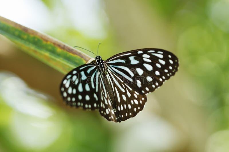 Tigre vetrosa blu del Ceylon fotografie stock