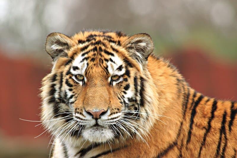 Tigre vigilante imagenes de archivo