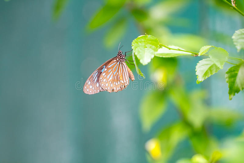 Tigre vitreux bleu dans un jardin images libres de droits