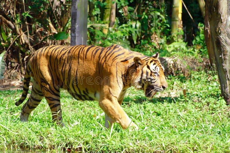 Tigre y prado foto de archivo libre de regalías