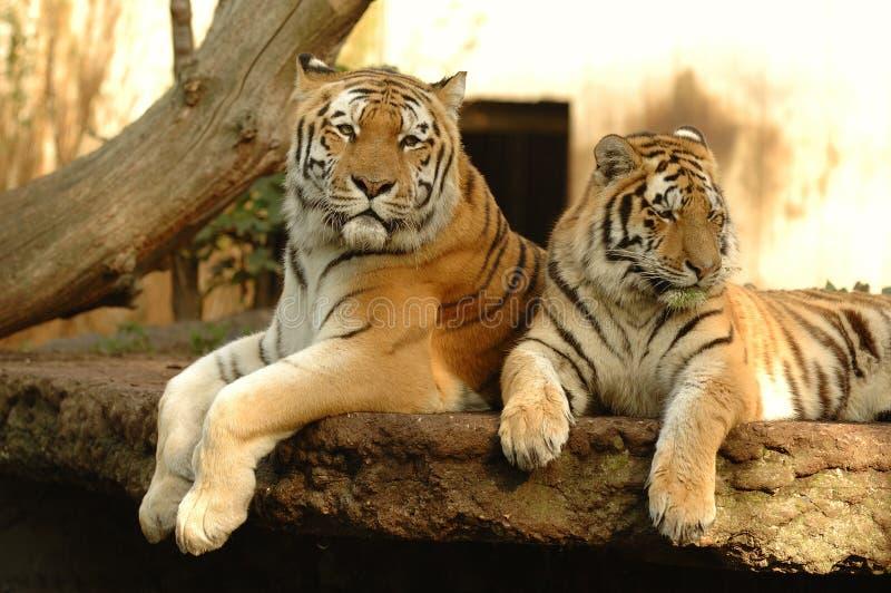 Tigres photo libre de droits
