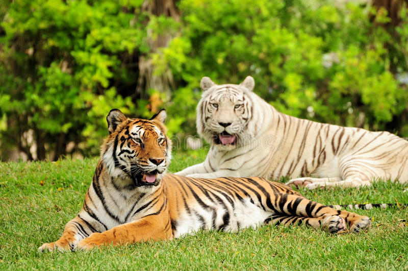 Tigres imagenes de archivo
