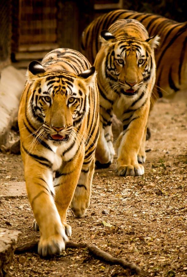 tigres foto de archivo