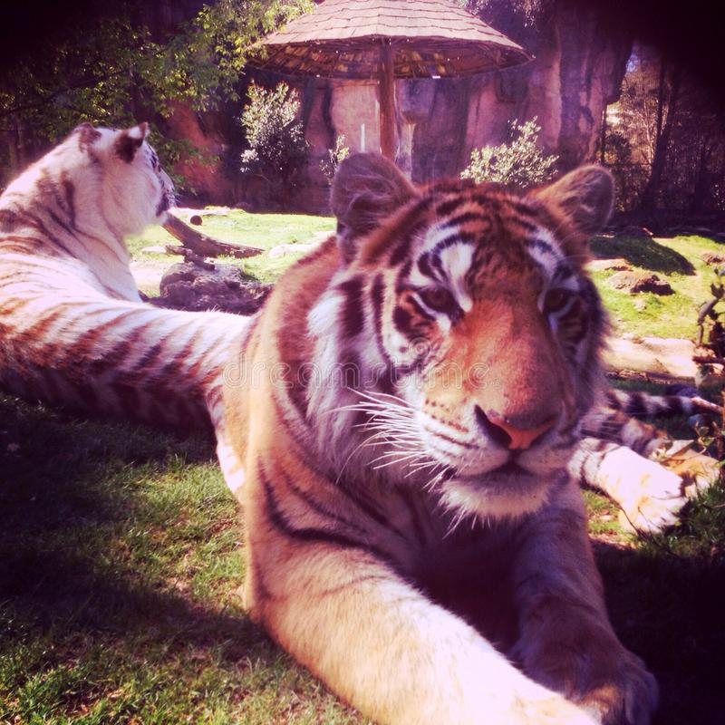 tigres photo stock