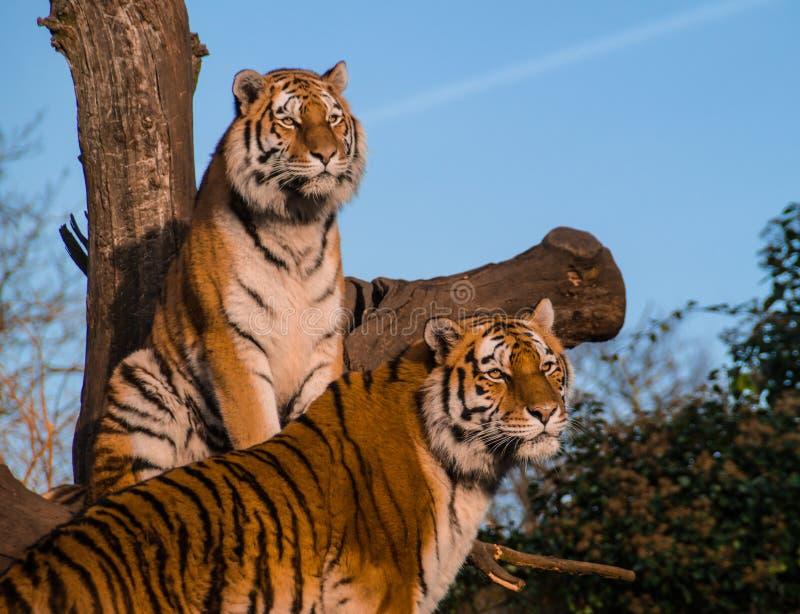 tigres imagens de stock royalty free