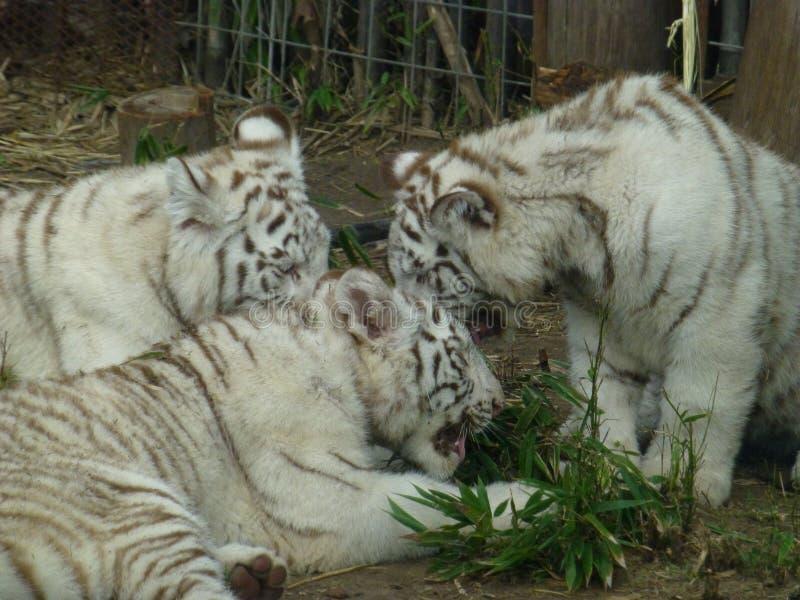 Tigres blancs à Buenos Aires photographie stock