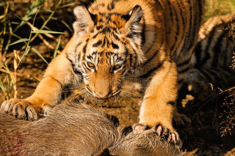 Tigres dans l'eau photos libres de droits