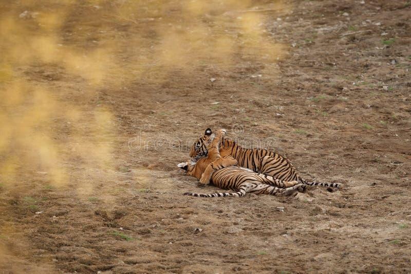 Tigres dans l'habitat de nature Petits animaux de tigre de Bengale jouant et luttant pour la dominance images stock