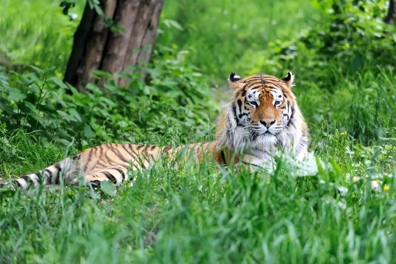 Tigres de Amur imagem de stock