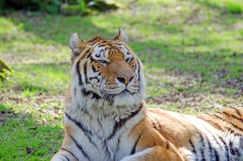 Tigres de Amur del siberiano imagen de archivo