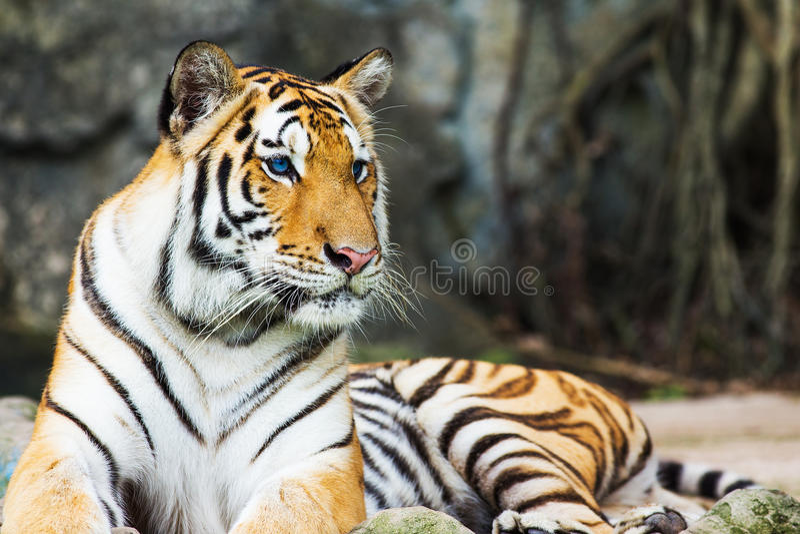 Download Tigres de Bengala imagen de archivo. Imagen de expresión - 41900773
