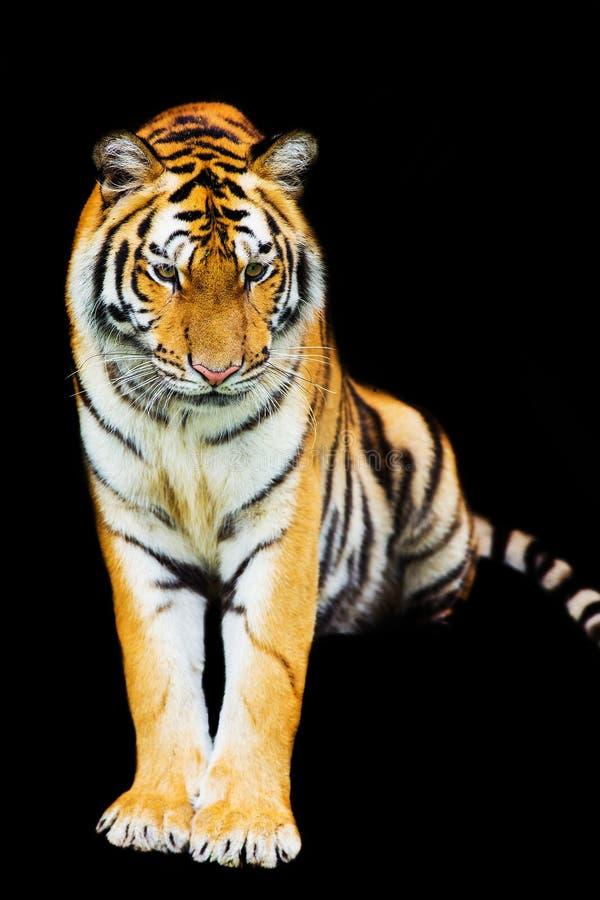 Download Tigres de Bengala imagen de archivo. Imagen de tigre - 41900943