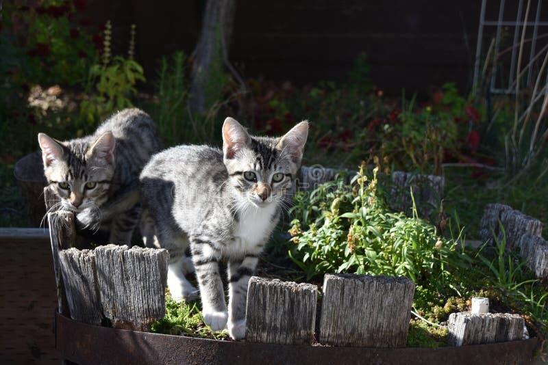 Tigres en tandem : Tabby Kittens a attrapé le jeu dans le planteur image stock