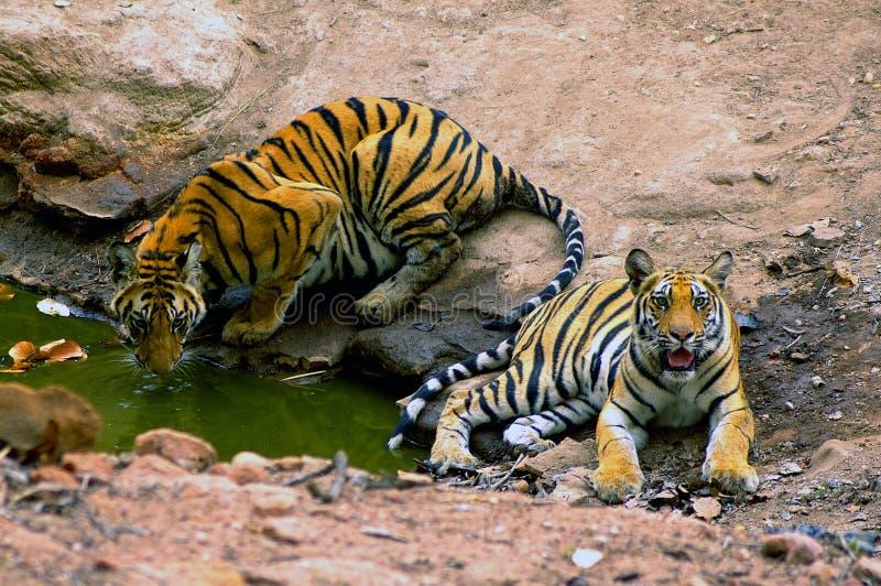 Tigres indios fotografía de archivo