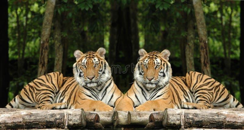 Tigres Indo-chinois Image stock