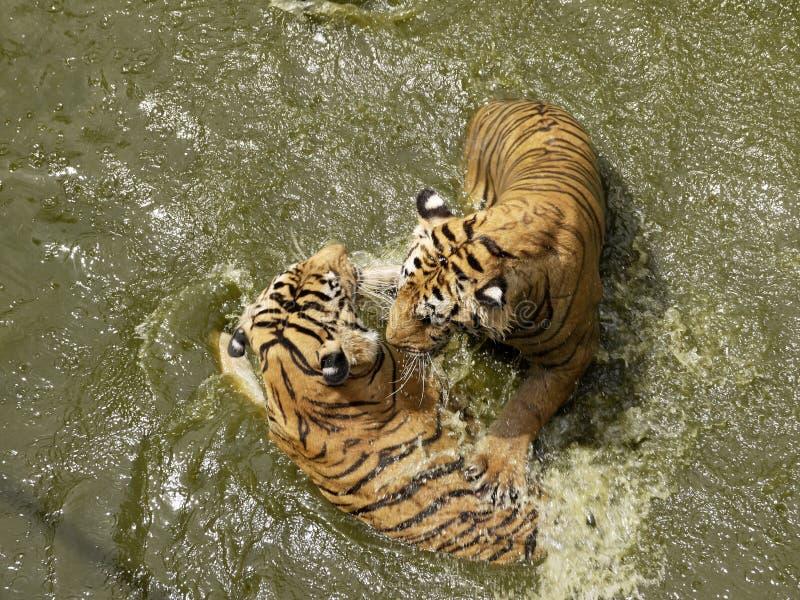 Tigres jouant dans l'eau photographie stock libre de droits