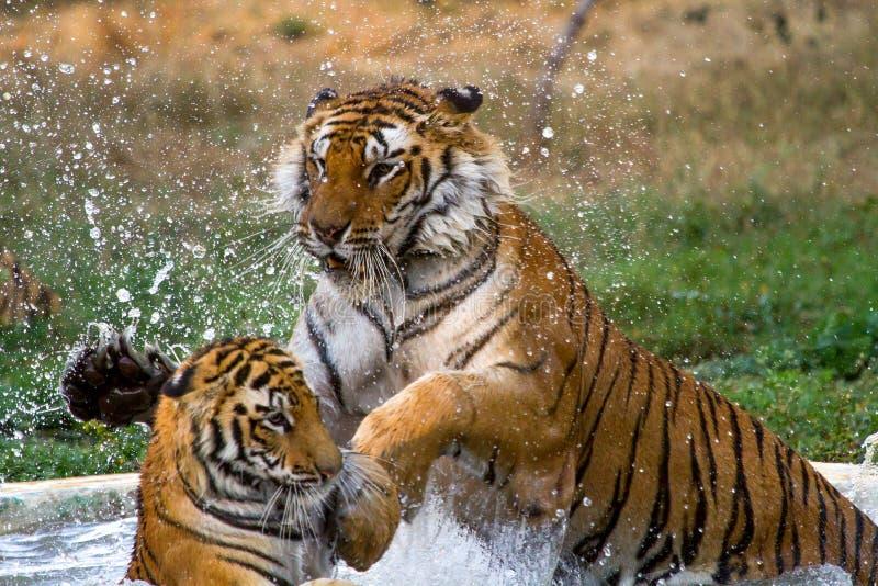 Tigres juguetones en agua imagen de archivo