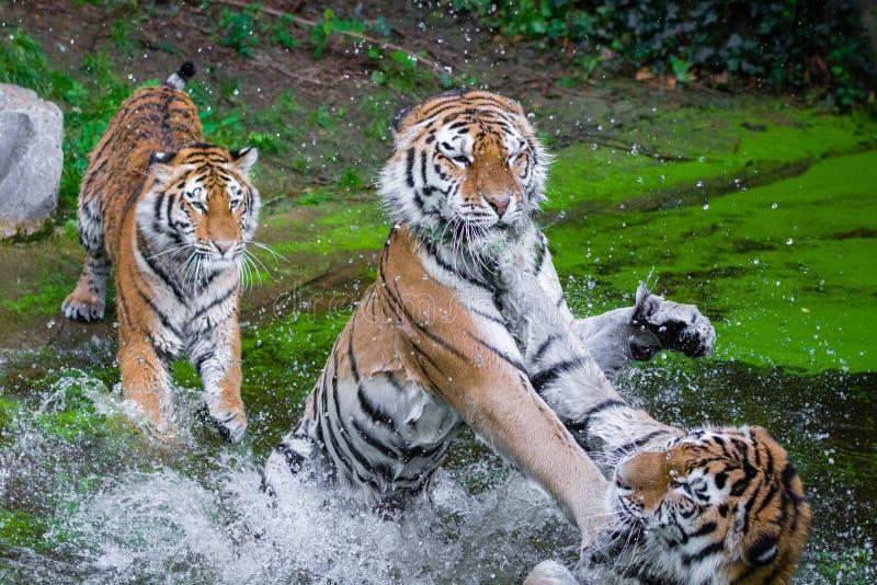 Tigres Siberian fotografia de stock royalty free