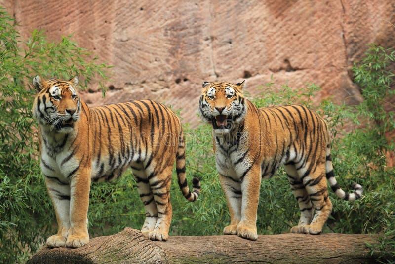Download Tigres Siberian foto de stock. Imagem de tigris, mamífero - 26514378