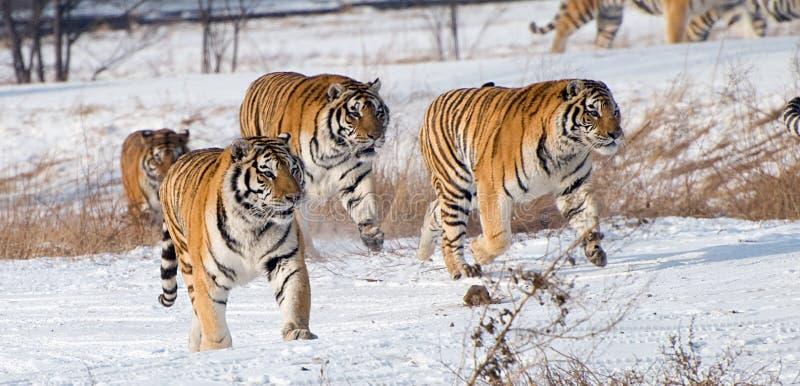 Tigres Siberian Running imagens de stock royalty free