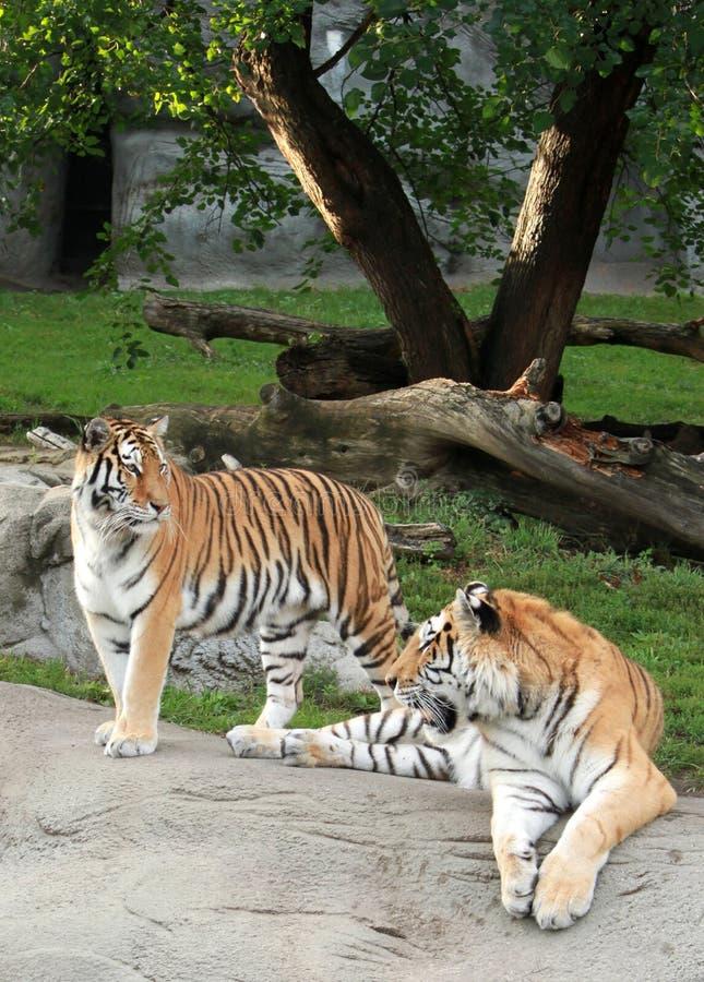 Tigres siberianos foto de archivo libre de regalías
