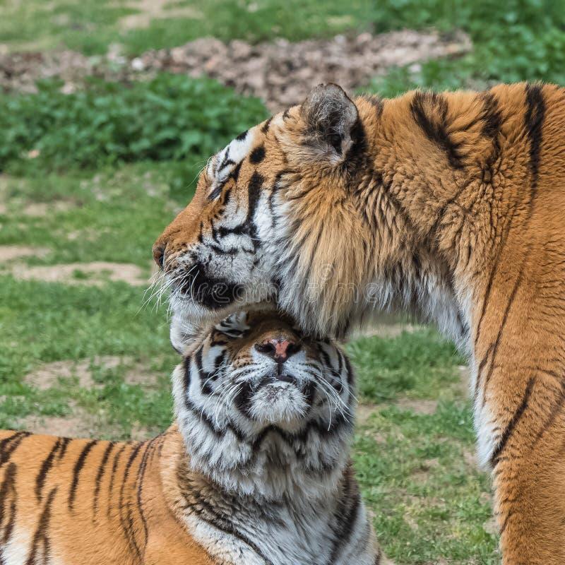 Tigres siberianos fotos de archivo libres de regalías