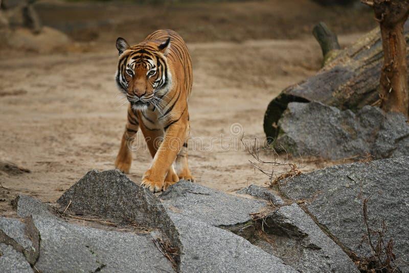Tigres siberianos, altaica del Tigris del Panthera, descansando y jugando en el área de montaña rocosa imagenes de archivo