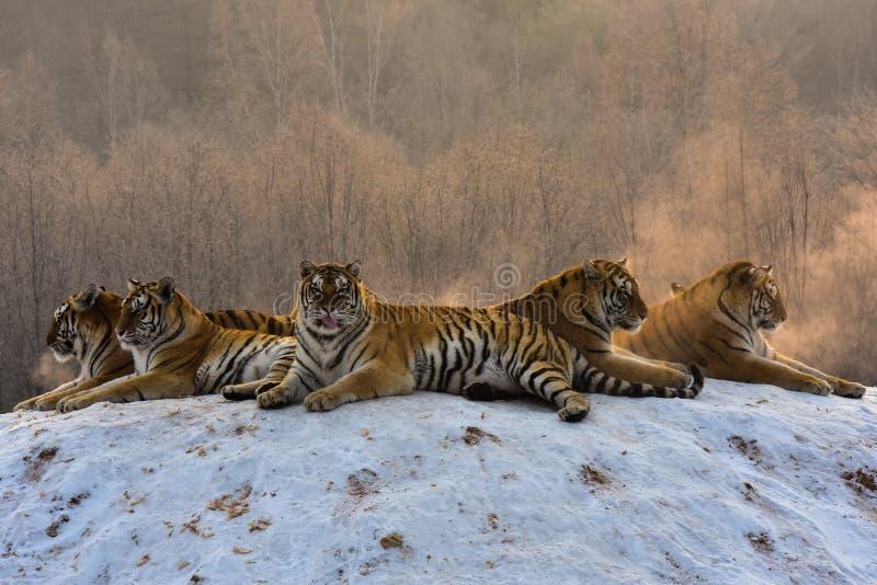 Tigres siberianos en invierno nevoso imagen de archivo