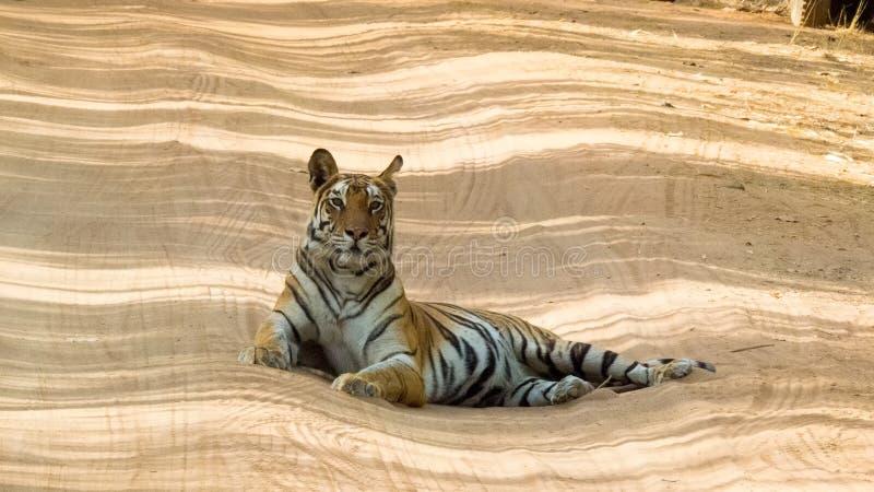 Tigress of Bandhavgarh Proudly Sitting On Road royalty free stock photos