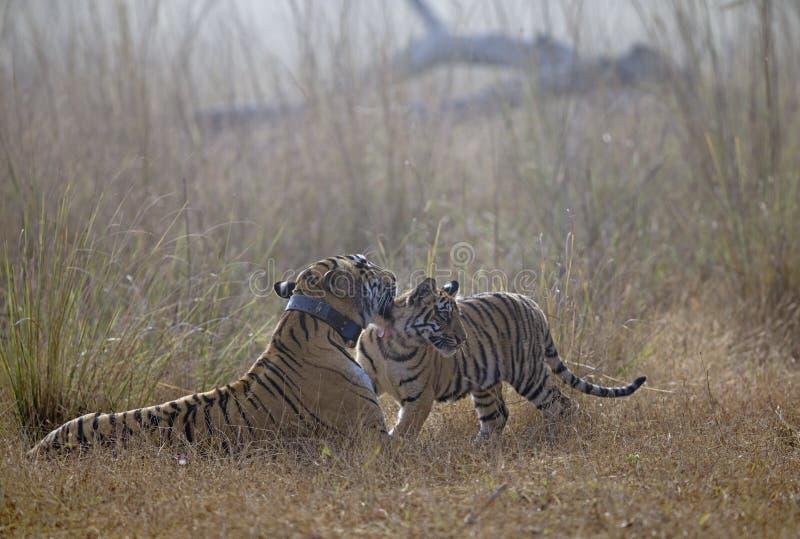 Tigress Choti Тары с одним новичком на запасе тигра Tadoba Andhari, Chandrapur, махарастре, Индии стоковые изображения rf