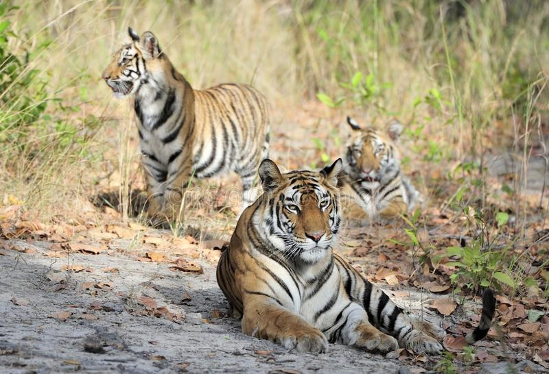 Tigress and cubs. In a sunny day the tigress lies on a forest glade. India . Bandhavgarh National Park royalty free stock photos