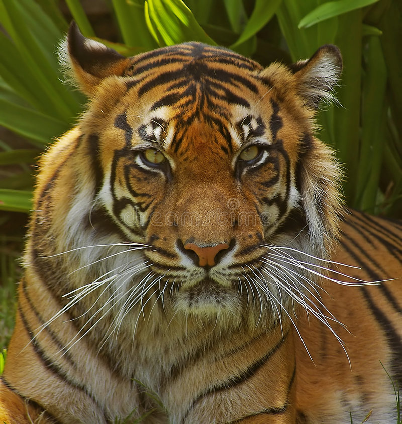 Tigress de Sumatran. imagens de stock