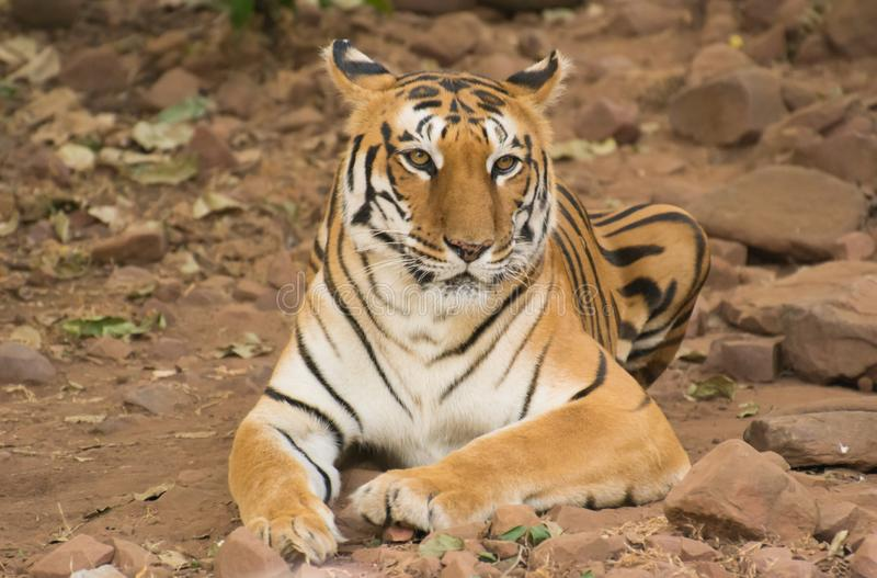 Tigress Sitting resting on rocky ground royalty free stock photography